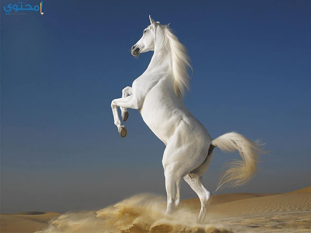 أجدد صور الخيول العربية الأصيلة