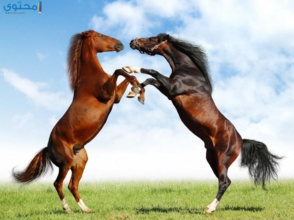 صور خيول عربية أصيلة جميلة