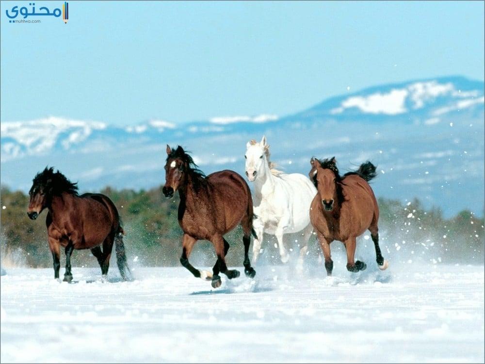 أجدد خلفيات الخيول العربية الأصيلة