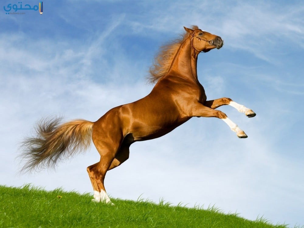 أروع الخيول العربية الأصيلة