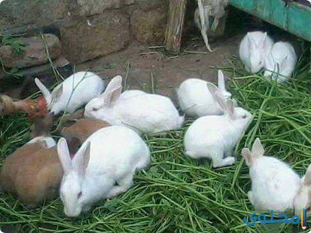 دراسة جدوى مشروع تربية الأرانب
