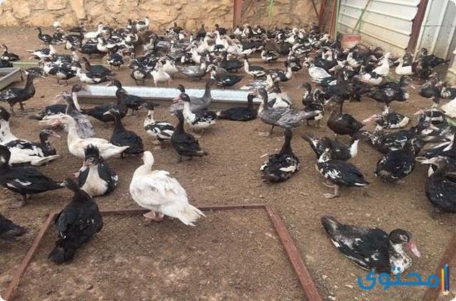 دراسة جدوى مشروع تربية البط المسكوفي في المنزل