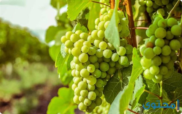 دراسة جدوى مشروع زراعة العنب في مصر