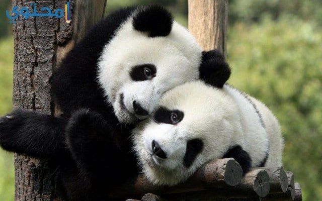 أجدد صور الباندا