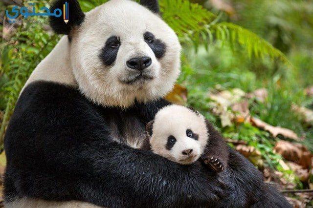 أجمل الصور لحيوان الباندا