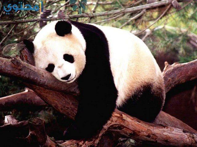 دب الباندا حزين