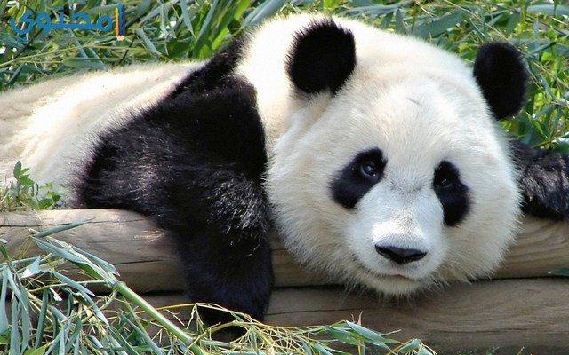حيوان الباندا العملاق