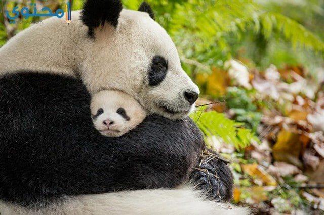 أروع صور لحيوان الباندا