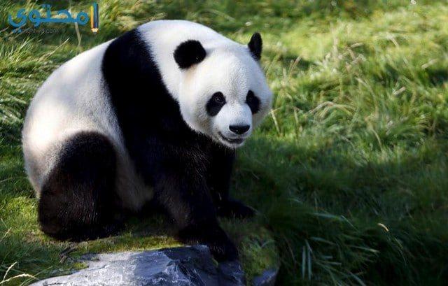 خلفيات حيوان الباندا حديثة