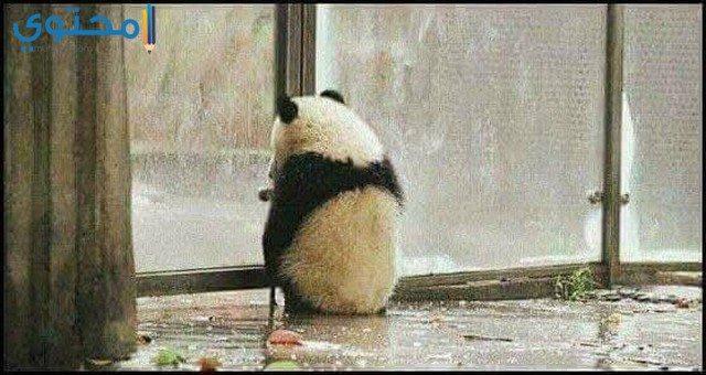 أحدث صور الباندا