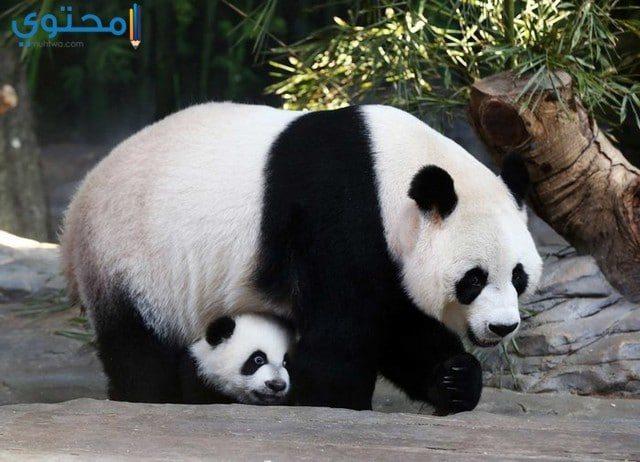 صور ورمزيات حيوان الباندا