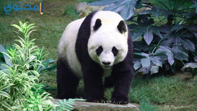 أجمل صور خلفيات الباندا