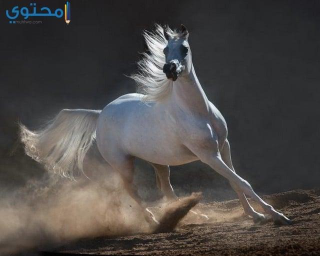 خيل عربي اصيل