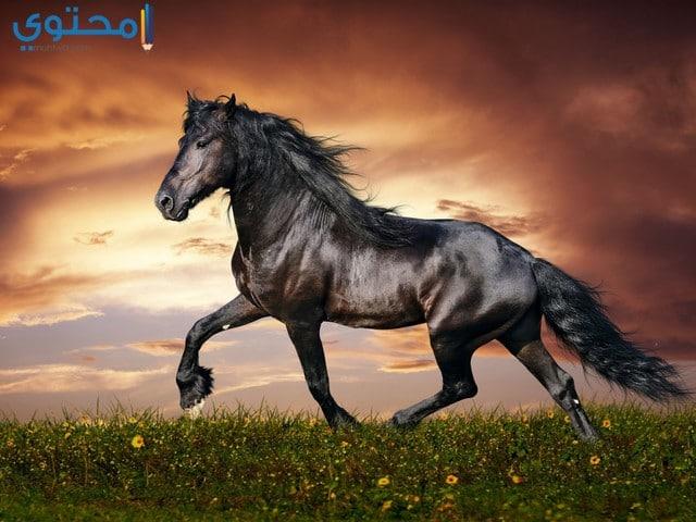 حصان عربي 2020