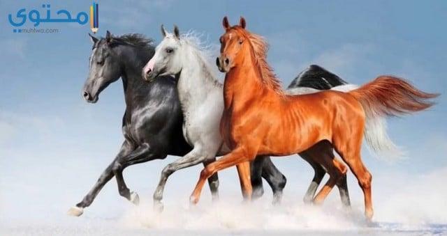 خيول عربية اصيلة