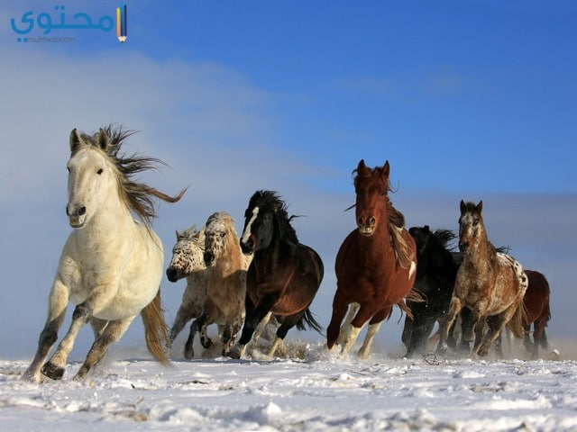خلفيات احصنة hd