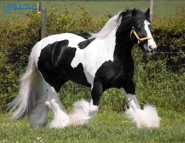 أجمل حصان في العالم