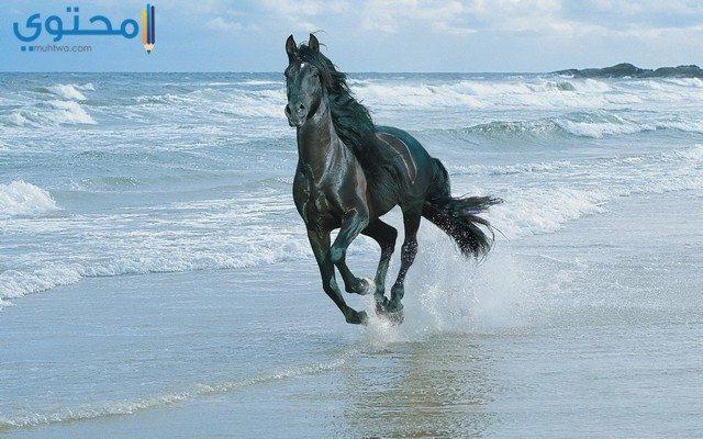 خلفيات خيول سوداء جميلة