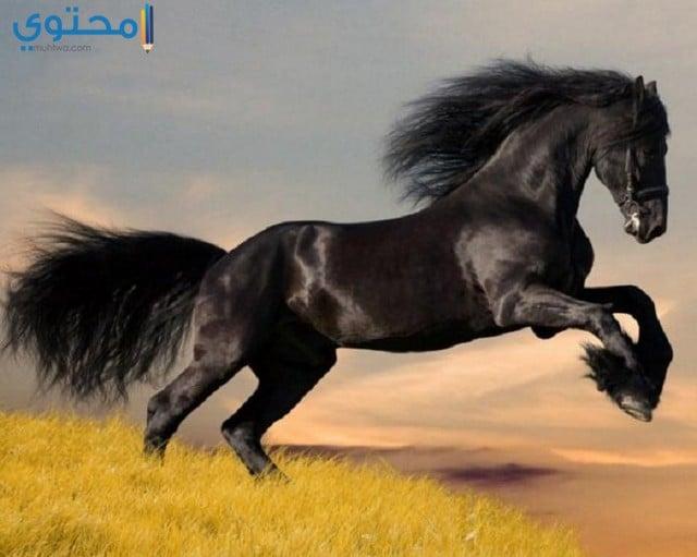 صور خيول سوداء تحفة