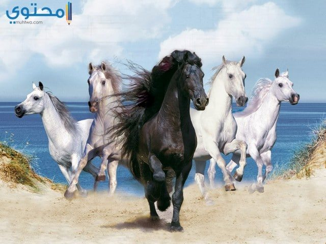 صور خيول سوداء وبيضاء روعة