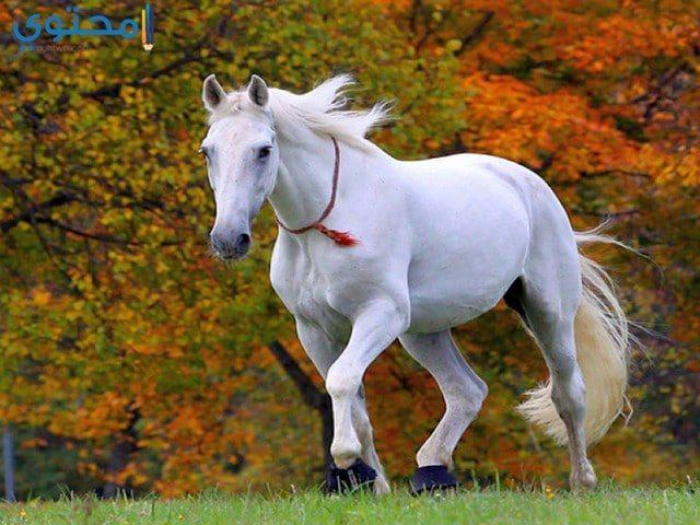 صور وخلفيات خيول بيضاء