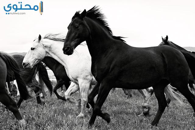 خيول بيضاء وسوداء جميلة