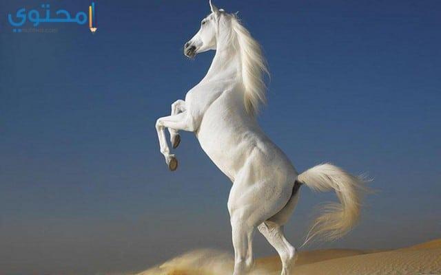 أحدث صور وخلفيات الخيول البيضاء