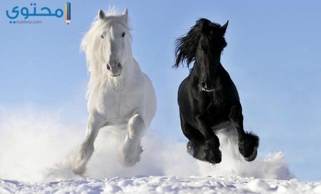 صور الخيول بيضاء وسوداء 2019
