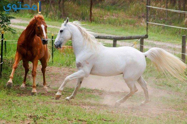 أجمل الخيول في العالم