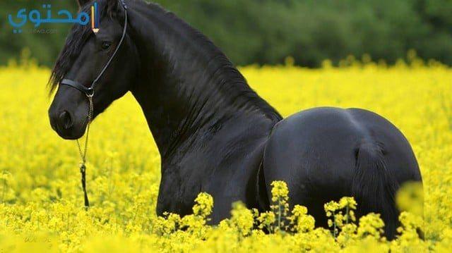 أحدث صور ورمزيات الخيول السوداء