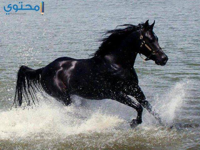 حصان أسود جميل