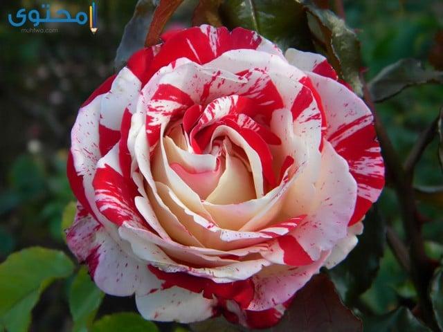 اجمل الورود والزهور فى العالم