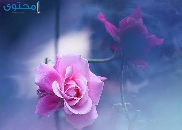 خلفيات ورود وزهور طبيعية