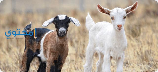 تفسير رؤية الماعز فى الحلم موقع محتوى