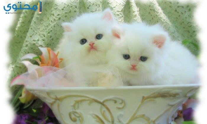 صور رمزيات قطط كيوت