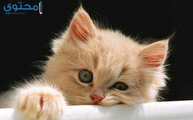 صور قطط حزينة