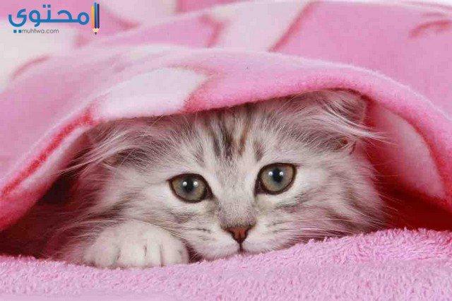 صور قطط جميلة للفيس