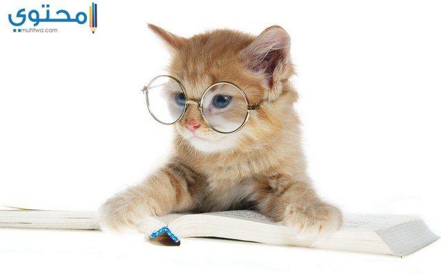 صور قطط مضحكة للفيس