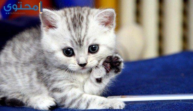 صور قطط صغيرة جميلة