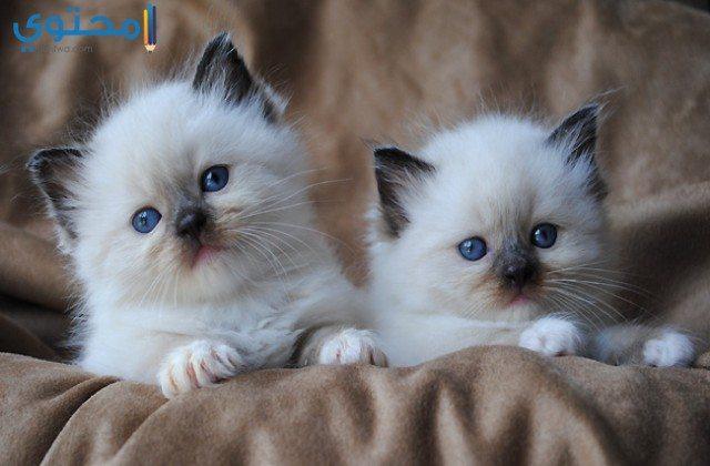 صور قطط جميلة 2021