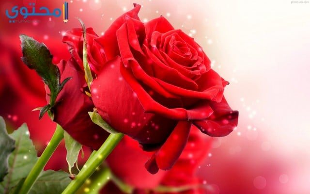 صورورد أحمر رومانسي