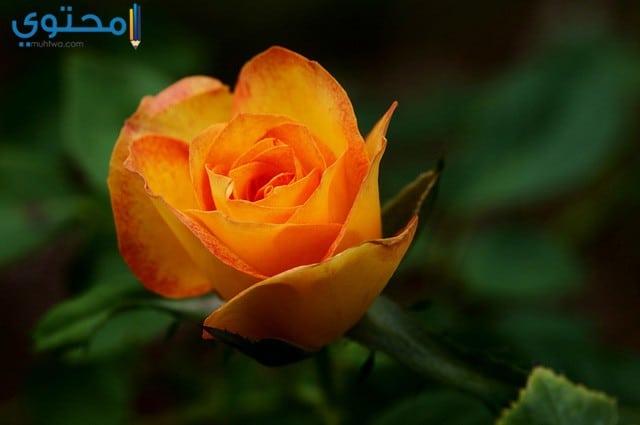 أجمل الصور ورود الحب