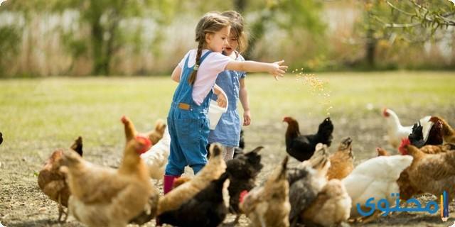 طرق تربية الدجاج في المنزل