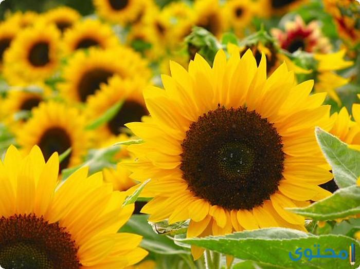 طريقة زراعة دوار الشمس