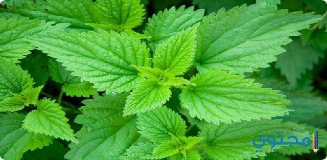 نبات القراص لحساسية الأنف