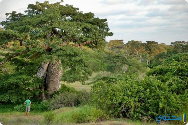 غابة مايومبي