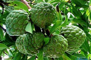 ملف مفصل عن فائدة فاكهة القشطة