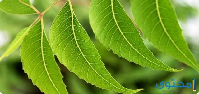 فوائد أوراق شجرة النيم
