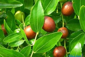 جميع فوائد النبق ثمار السدر