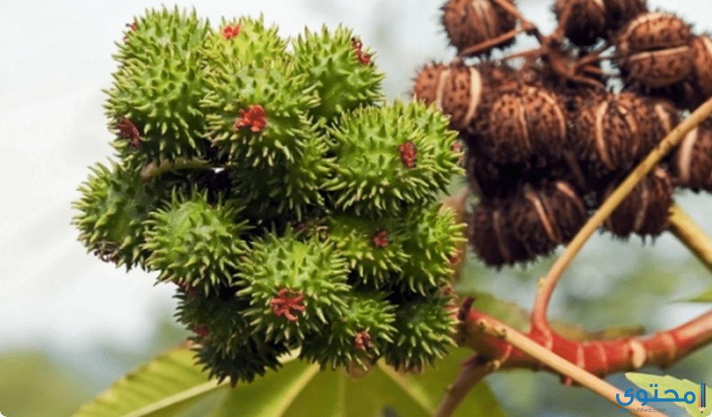 زيت الخروع للشعر3 - ماهي فوائد زيت الخروع للشعر؟